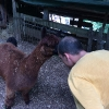 Alpaca in posa